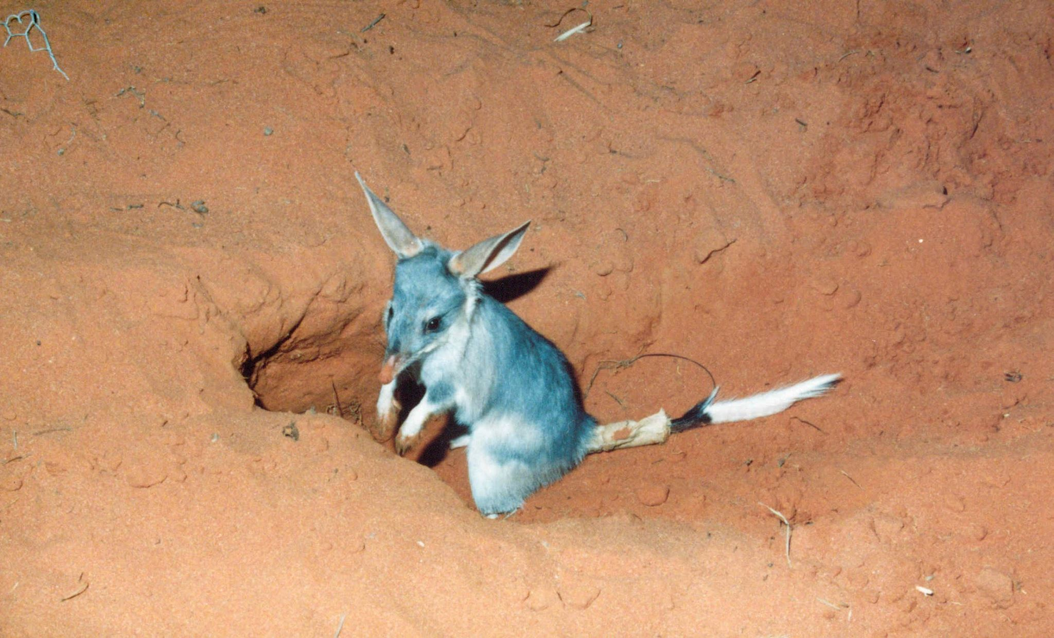 A bilby burrows into the red earth at Roxby Downs, photo courtesy of Arid Recovery