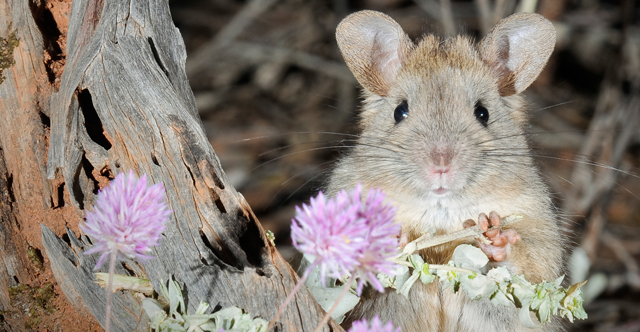 Saving Australia's native animals from extinction
